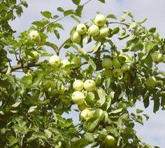 'äppelträd transparante blanche' - Sök på Google