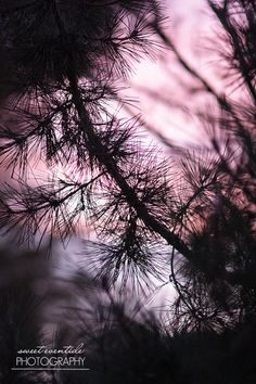 Nature Photograph Branches Dusk Sunset Pine Tree