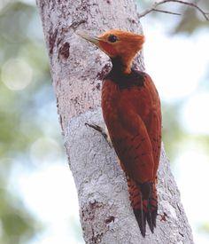 Pica-Pau-de-Coleira ---------------------  ( Celeus torquatus ) ( Macho ) -  A principal caracteristica dessa especie é a coleira em volta do pescoço -  Brazil, Bolivia,  Colombia, Ecuador, French Guiana, Guyana, Peru, Suriname e Venezuela.