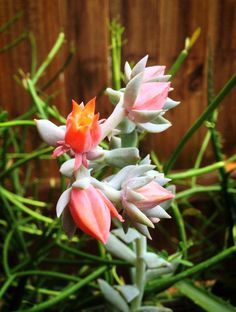 This is Echeveria 'Topsy-Turvy'... Such a pretty color! www.southeastsucculents.com