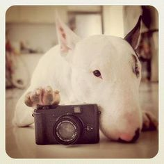 Fancy - Say Cheseeee bull terrier