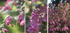 Encyklopedie rostlin: něžně kvetoucí meruzalka | Dům a zahrada - bydlení je hra