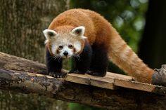 Les pandas roux sont arrivés au Parc zoologique et botanique de Mulhouse Aquariums, Animation, Red Panda, Parcs, Animals And Pets, Fox, Alsace, Pandas Roux, Animales
