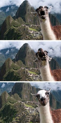 Love these shots of a llama at Machu Picchu. That was an amazing place to visit. Somewhere I have my own picture of a llama about to push me off a terrace. Alpacas, Funny Animal Pictures, Funny Animals, Cute Animals, Animal Pics, Funny Cute, The Funny, Hilarious, Lama Animal