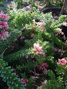 Shade Garden Flowers And Decor Ideas Grevillea Lanigera Australian Native Garden, Australian Plants, Rock Garden Plants, Shade Garden, Flowers Garden, Hello Hello Plants, Small Shrubs, Plant Identification, Free Plants