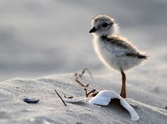 Yet another bird that was nearly hunted to extinction for its beautiful feathers, as of 2012 when the most recent study was concluded, there were only 3,600 breeding Piping Plovers along the Atlant…