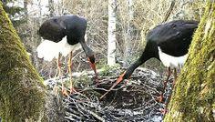 Black Stork nest