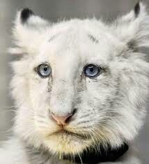 Stunning white lion cub....