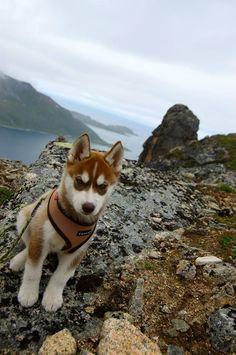 What a cutie! Siberian husky puppy #SiberianHusky #siberianhuskypuppy