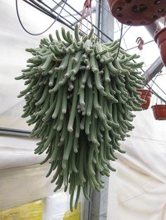 Aporocactus flagelliformis cactus con flor - Buscar con Google