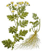 Feverfew :Used for the prevention of migraines & headaches, arthritis, fevers, muscle tension and pain, Feverfew is also used to lower blood pressure, lessen stomach irritation, stimulate the appetite and to improve digestion and kidney function. It has been indicated for colitis, dizziness, tinnitus and menstrual problems.  Herbal medicine has an impressive track record in treating migraines and chronic headaches. Feverfew treats the cause of the headaches rather than simply the pain.