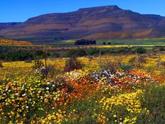 Aquila, South Africa is known for its magnificent carpet of flowers after the first spring rains. Many people travel to the area during this time just to see the Karoo flowers.