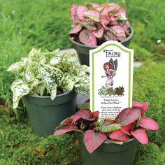 Fairy Flowers are available between March and July Fairy Garden Plants, Fairy Garden Supplies, Fairy Garden Houses, Gnome Garden, Fairy Gardening, Fairies Garden, Moses In The Cradle, Alpine Strawberries, Miniature Fairy Gardens