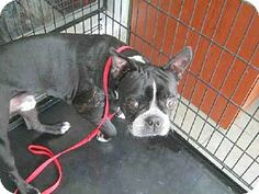 Meet TJ a Dog for Adoption. - Facts about TJ - Breed: Boston Terrier - Age: Senior - Size: Small 25 lbs kg) or less - Sex: Male - ID Shelter Dogs, Rescue Dogs, Animal Rescue, Proverbs 12 10, Save Animals, Lost Pets, Change Is Good, Boston Terriers, Losing A Pet
