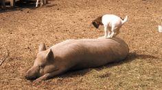 goat jumps on pig -