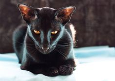 Oriental Shorthair. Their features are so wickedly gorgeous. There is no wickedness in any black cat.  The are beautiful, Just saying. Theincensewoman