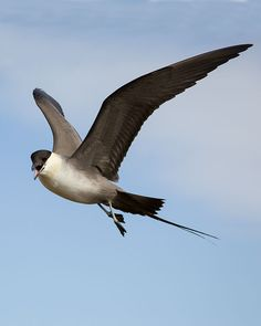 Long-tailed jaeger(Stercorarius longicaudus). Of the three jaeger species, the Long-tail is the smallest and the one that migrates farthest offshore; south of the Arctic, it seldom comes within sight of land.