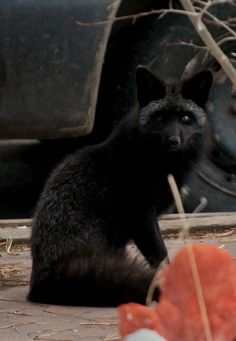 A beautiful, technically, Silver Fox with obviously rare black fur; exceptionally rare in the Colorado Rockies where almost every wild fox spotted is red. A true beauty. Black Animals, Animals And Pets, Cute Animals, Beautiful Creatures, Animals Beautiful, Coyotes, Melanistic Animals, Baby Wolves, Red Wolves