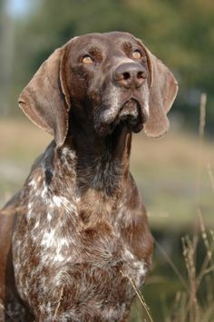 GERMAN SHORT-HAIRED POINTER~sweetest things on the planet (esp my Augie)