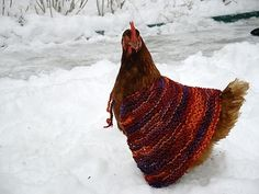 """Chickens wearing sweaters to keep warm in winter! I realize that this makes me a """"not serious"""" urban farmer, but with 4-6 chickens, I just might do this. (But I think the deep bedding will make it unnecessary. Still, how cute would my chickens be??? Maybe I could knit a beehive cozy for the bees too! :D)"""