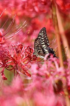 Spider Lily & Papilio xuthus