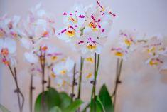 Оранжерея орхидей: сильный витаминный комплекс для фаленопсисов | Зобости | Яндекс Дзен