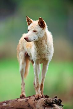 """Dingo: """"the dingo, the only placental carnivore considered a native, hitched a lift from Asia with seafaring humans about 4,000 years ago and spread through much of the mainland. It is a primitive, medium-sized dog that howls but doesn't bark."""" Australian Wildlife www.bradtguides.com"""