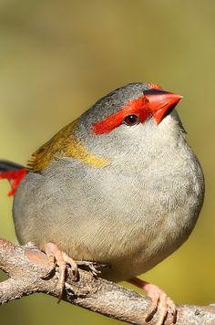 Red-browed Finchje je je je un pinzon de cera roja parece que se maquilla bonita ceja guapeton