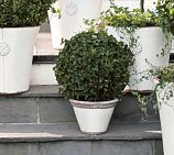 Live Ivy Globe Topiary.  Trying to find these for cheaper.  anyone??