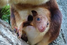 In this handout image provided by Taronga Zoo, an unnamed baby Goodfellows Tree Kangaroo joey is seen in it's mothers pouch on March 8, 2014 in Sydney, Australia. Taronga Zoo is celebrating the successful birth of its first Goodfellows Tree Kangaroo joey in more than 20 years. Zookeepers have only just begun seeing her peeking out from first-time mother, Qwikilas, pouch after she was born in September last year. (Photo by Taronga Zoo via Getty Images)
