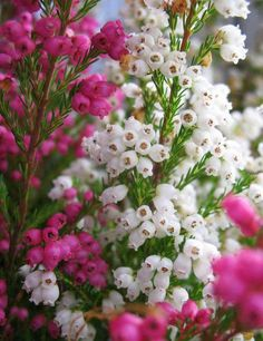 I'm sure this is Heather, I found some on the coast in Scotland a while back.. a wonderful souvenir