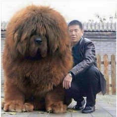 Popular Tibetan Mastiff Chubby Adorable Dog - 46864691f93958ca7112b3e3602f59ff  Pic_679185  .jpg