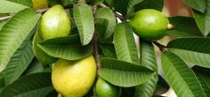 Guava leaves reduce hair fall completely and help to grow hair healthier and thicker.Guava leaves for hair growth can be used in the treatment of hair loss. Guava Plant, Guava Fruit, Guava Leaf Tea, Guava Tree, Guava Leaves For Hair, Remedies For Gastritis, Guava Benefits, Health Benefits, Health Tips