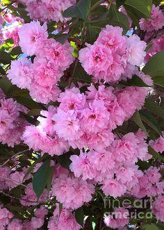 #cherryblossoms #kwanzancherryblossoms #pink #pinkblossoms