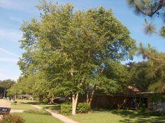 Betula nigra / Betula nigra - OnlinePlantGuide.com 9981