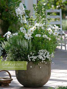 Cosmos Sonata 'White', Delphinium 'Galahad', Salvia nemorosa 'Adrian', Campanula×haylodgensis 'White Wonder' n Euphorbia 'Diamond Frost'
