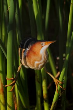 Least Bittern 6/7/14 wakodahatchee wetlands, FL