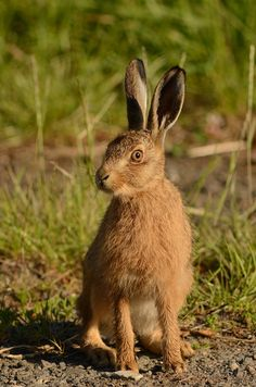 Image result for hare british