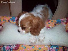 Cavalier King Charles Spaniel Puppy Spaniel Puppies For Sale, Cute Puppies, King Charles Spaniel, Cavalier King Charles, Puppy Mills, Spaniels, Dog Quotes, Adorable Animals, Dog Stuff