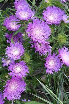 Stokesia laevis Honeysong Purple