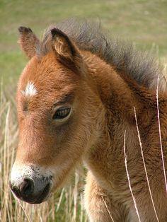 Aww. Dartmoor Pony Foal. Naughty Horsey. www.naughtyhorsey.com