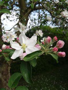 Filippa Apple tree