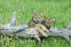 wolves - Bing Images