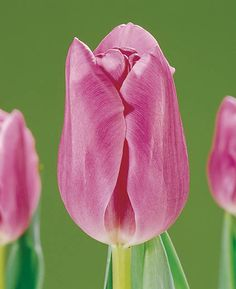 Tulip 'Mistress', Triumph Tulip