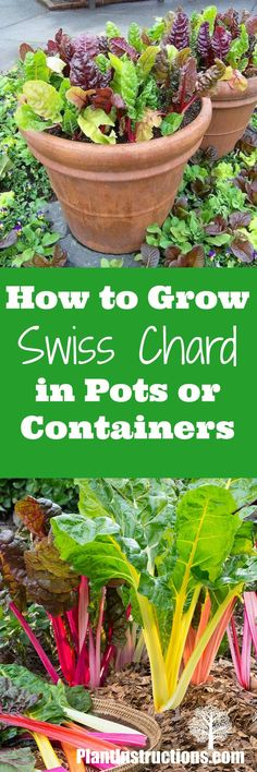 how to grow swiss chard in pots