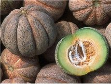 Early Hanover Melon - rareseeds.com - small 2-3 lb green-fleshed melons; bursting with sweetness; pick just before melons freely slip from vines for best flavor; 75 days