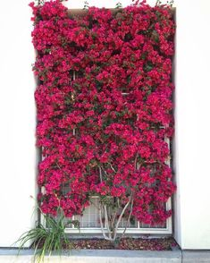 Wonderful Bougainvillea Trellis Ideas Bougainvillea Vines – Elegantly Twine Up a Trellis Wonderful Bougainvillea Trellis Ideas. Bougainvillea has been considered as one of the bright and colo… Bougainvillea Trellis, Bougainvillea Colors, Vine Trellis, Garden Trellis, Trellis Ideas, Porch Trellis, Bean Trellis, Tomato Trellis, Wood Trellis