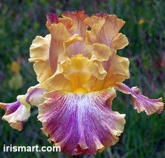 Glo-Ray Hallelujah Tall Bearded Iris