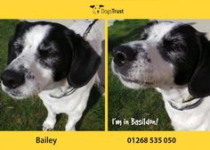 Bailey is an older gent at Dogs Trust Basildon looking for his retirement home. He loves a cuddle and tennis balls but is not a fan of thunder and fireworks.