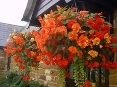 Tuberous Begonias in Hanging Baskets, likes shade & are easy to grow. Mixed with Creeping Jenny and a few reddish/orange impatiens.